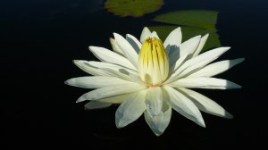 white_lotus_1920x1080